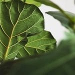 Fiddle-Leaf Fig Trees: Grow and Care Guide