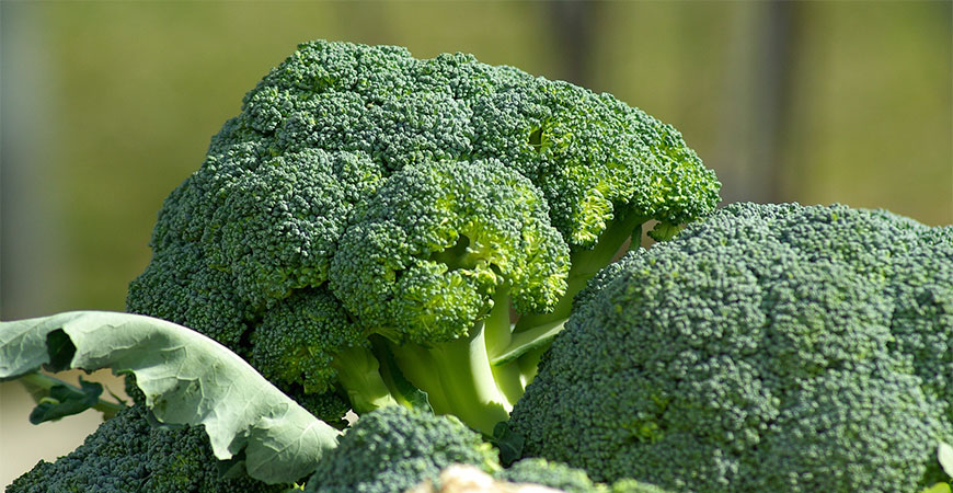Start broccoli seeds indoors in a greenhouse or by a sunny window.