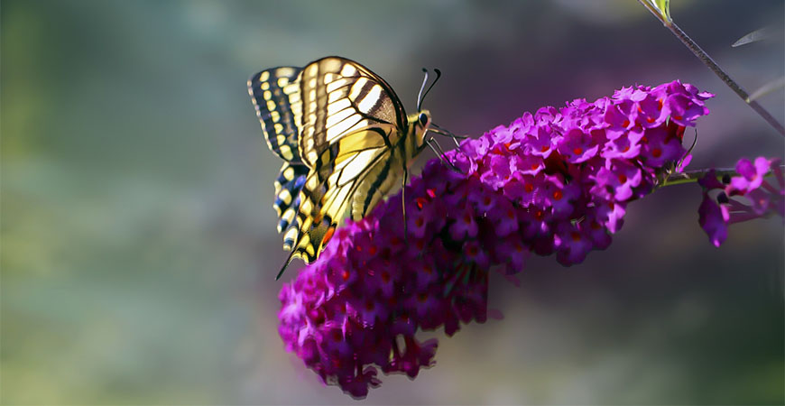 Add a pop of color to your garden by planting butterfly bush. They'll bloom all summer long.