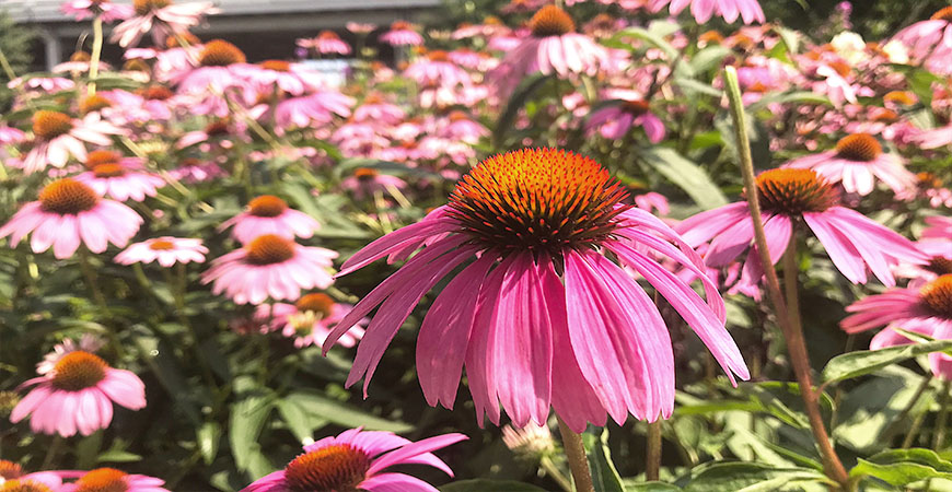 coneflower summer bloom