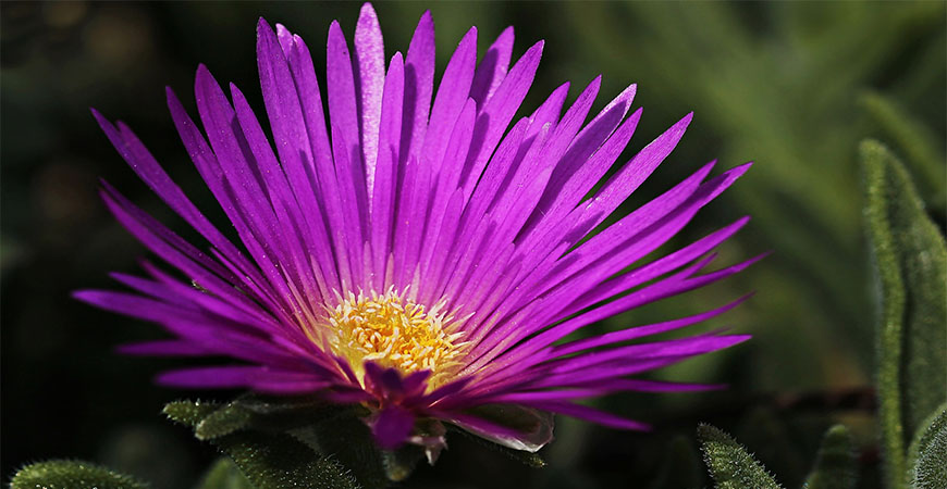 Plant ice plant flowers to really grow your garden's personality