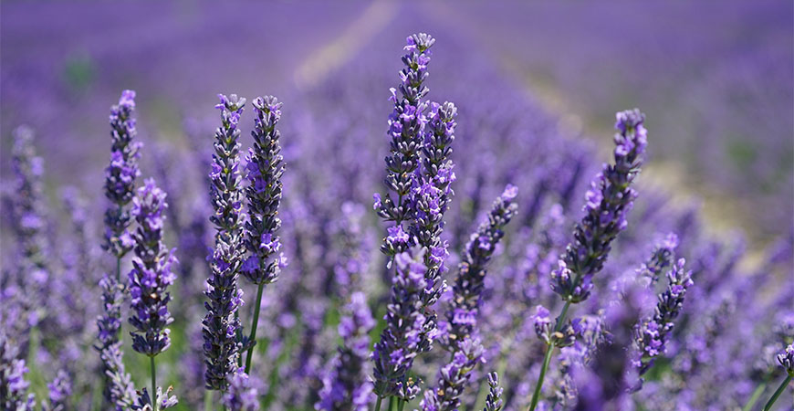 English lavender is a garden staple being that they are fragrant, simple to grow, and pretty.