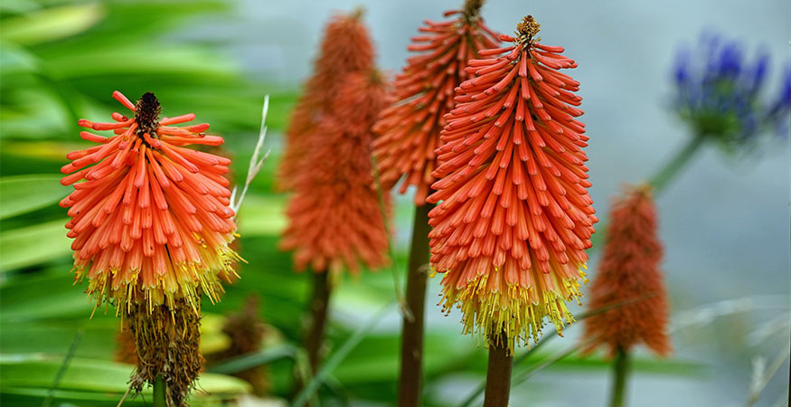 Growing red hot pokers will certainly add color and texture to your outdoor space.