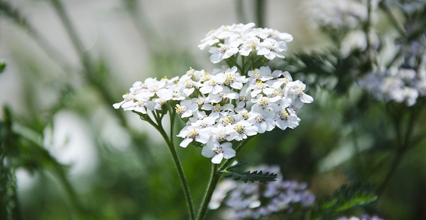 Protect your light shade flowers by growing these nearby to provide a little umbrella of shade.