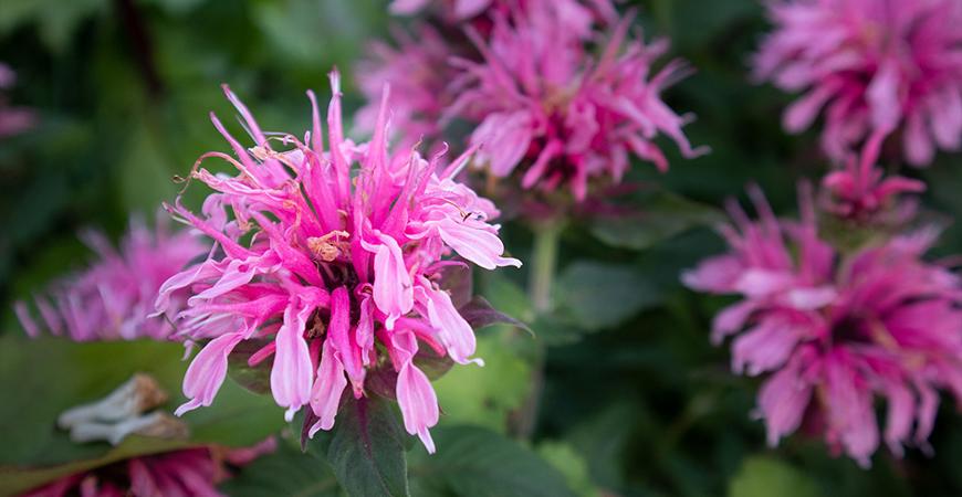 bee balm attracts pollinators