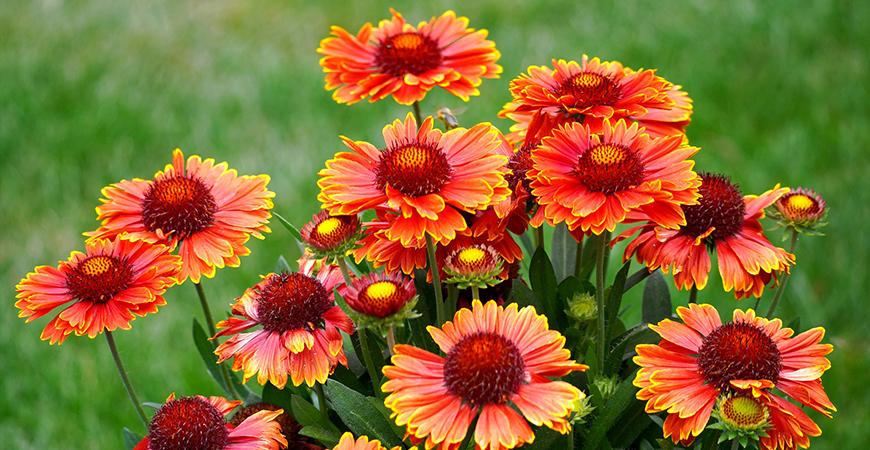 blanket flower for pollinator-friendly gardens