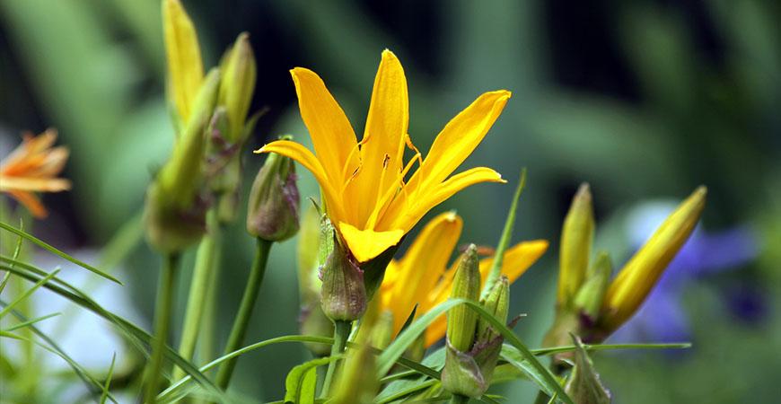a citron daylily