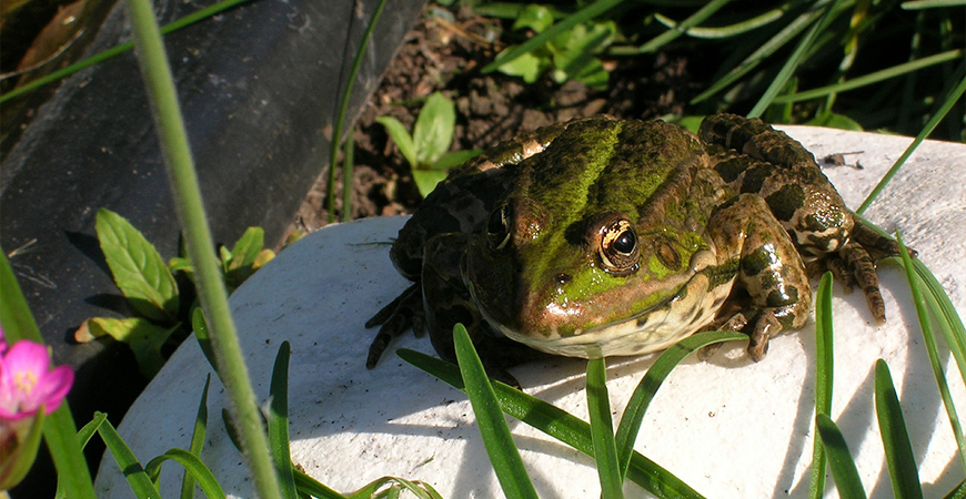 frogs are beneficial in gardens