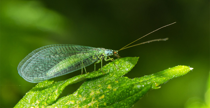 green lacewing resting