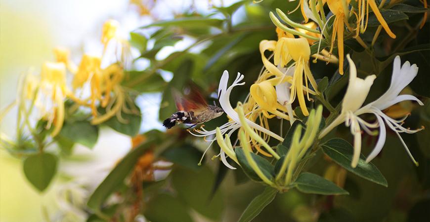 honeysuckles attract hummingbirds