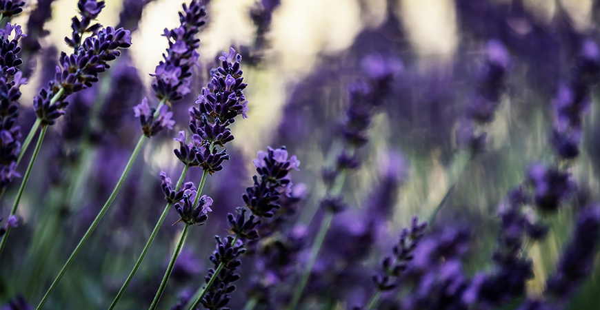 lavender is a great option to attract pollinators