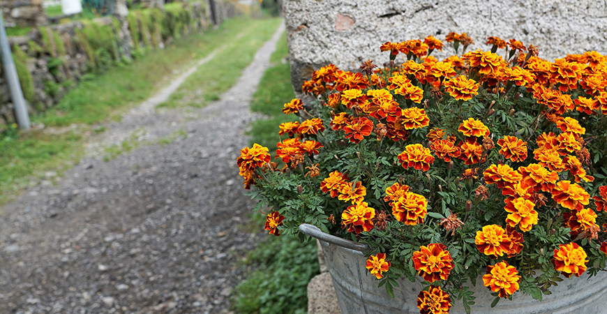 Pot Marigold flowers to attract benificial insects