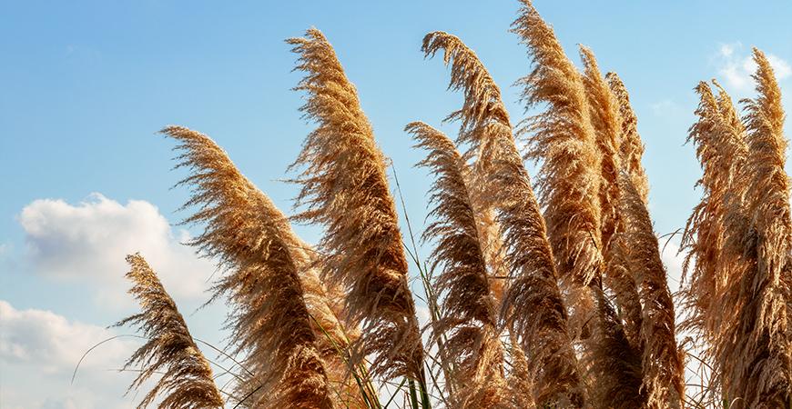 pampass grass cover photo