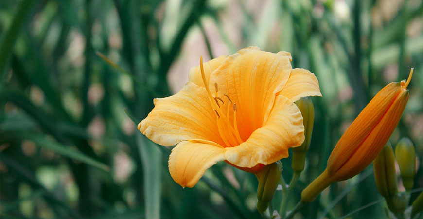 caring for spacecoast tiny perfection daylilies