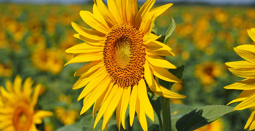 sunflowers in pollinator garden