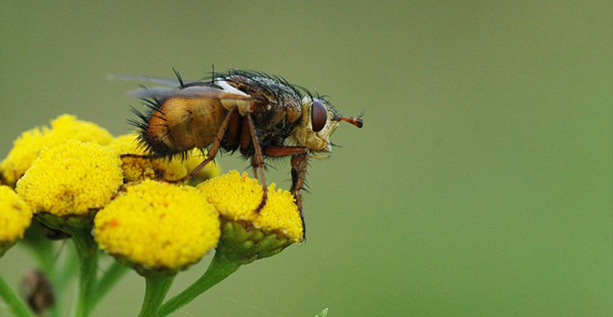 tachinid fly on a flower