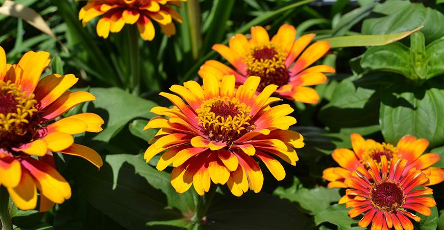 Zinnias attract pollinators