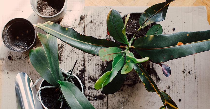 repotting plants inside