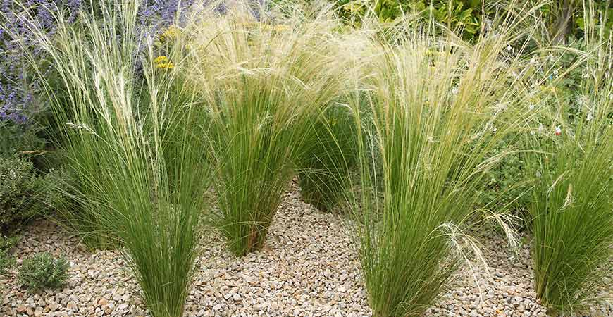 Stipa pony tail is a thin grass that can be planted in clumps or individually.