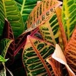How to Grow Croton Plants for Autumn Enjoyment
