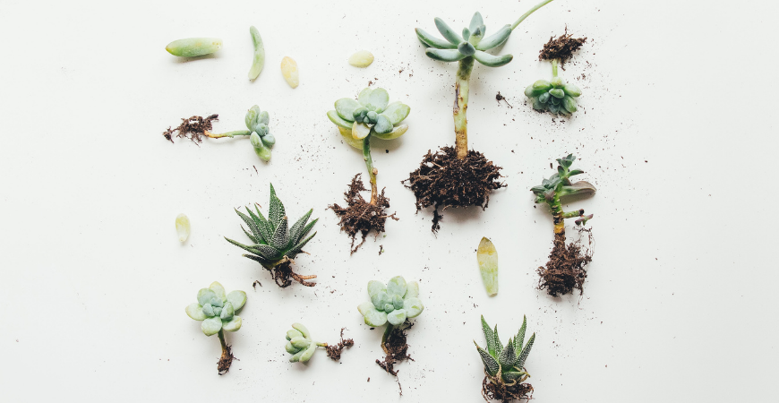 propagating succulents from leaf and stem cuttings