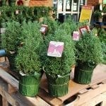 How to Care for a Rosemary Christmas Tree