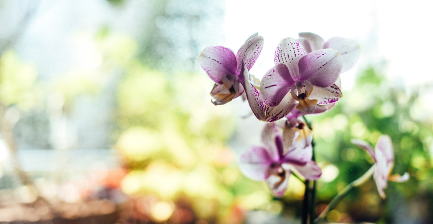 giving orchids as gifts