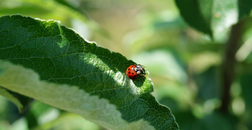 Ladybugs are garden friendly pests to add to your garden as part of your New Year's resolutions.