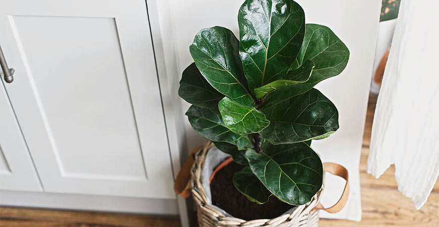 Fiddle-leaf fig on kitchen floor.