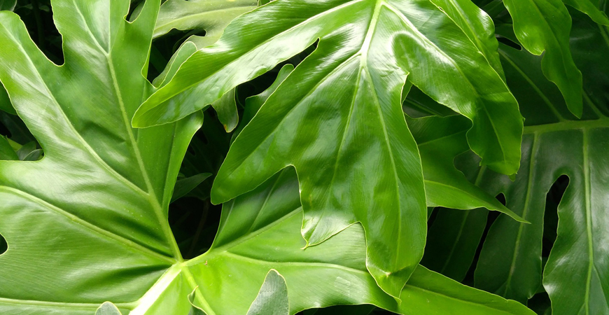 how to grow philodendron