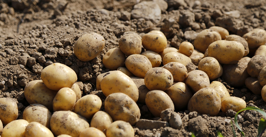planting potatoes on st patrick's day