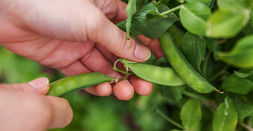 Grow peas in your garden this St. Patrick's Day.