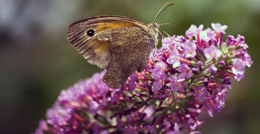 when to prune butterfly bush