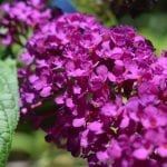 How to Grow and Care for a Butterfly Bush