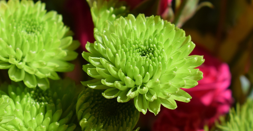 Key Lime Mums for Fall Gardens