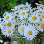 How to Grow Daisies in a Garden or Container