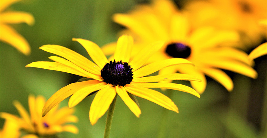 Add a spark of color to your garden with yellow coneflower.