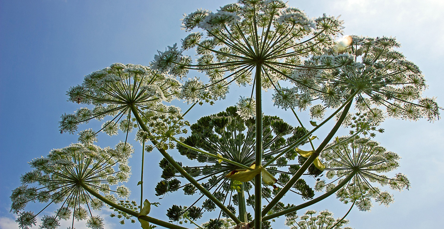 Giant Hogweed- Poisonous Plants to Watch For