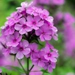 Attract Butterflies to Your Yard with Garden Phlox