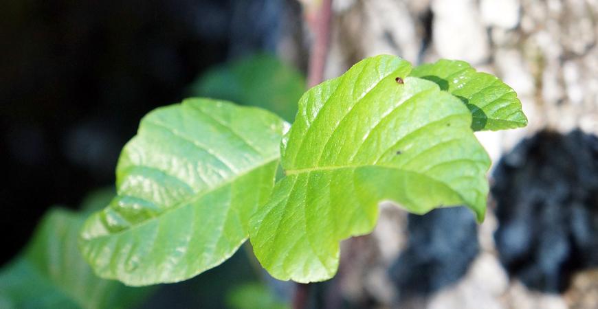 Posion Ivy Plant