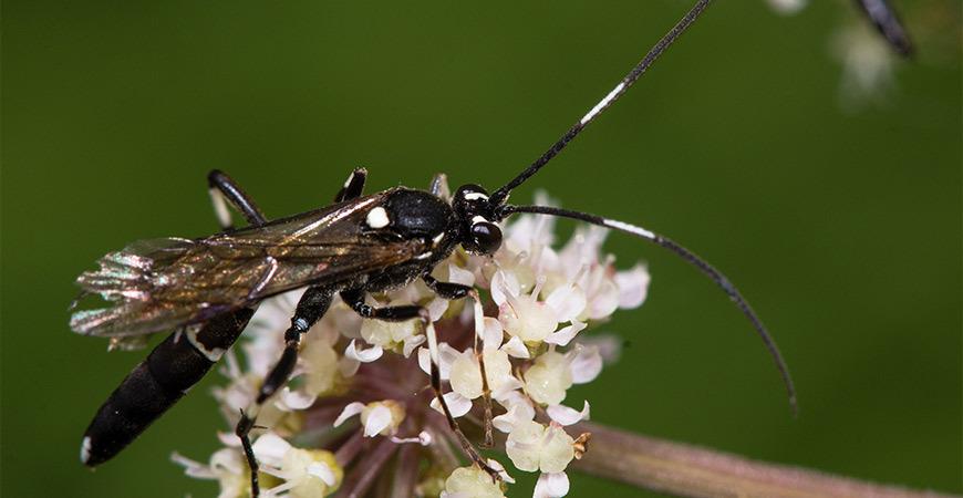 Ichneumonid Wasp on Flower